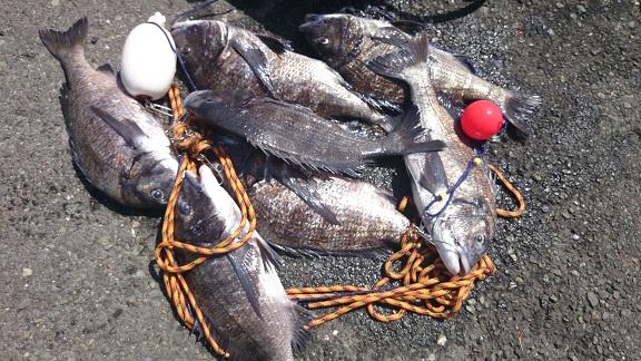 「巨チヌ極道」黒鯛法師様のレポート